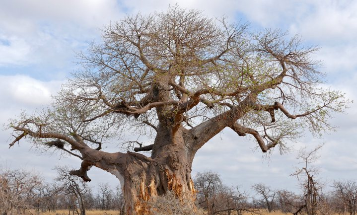 Baobab and Acha: a plea for indigenous foods in Africa